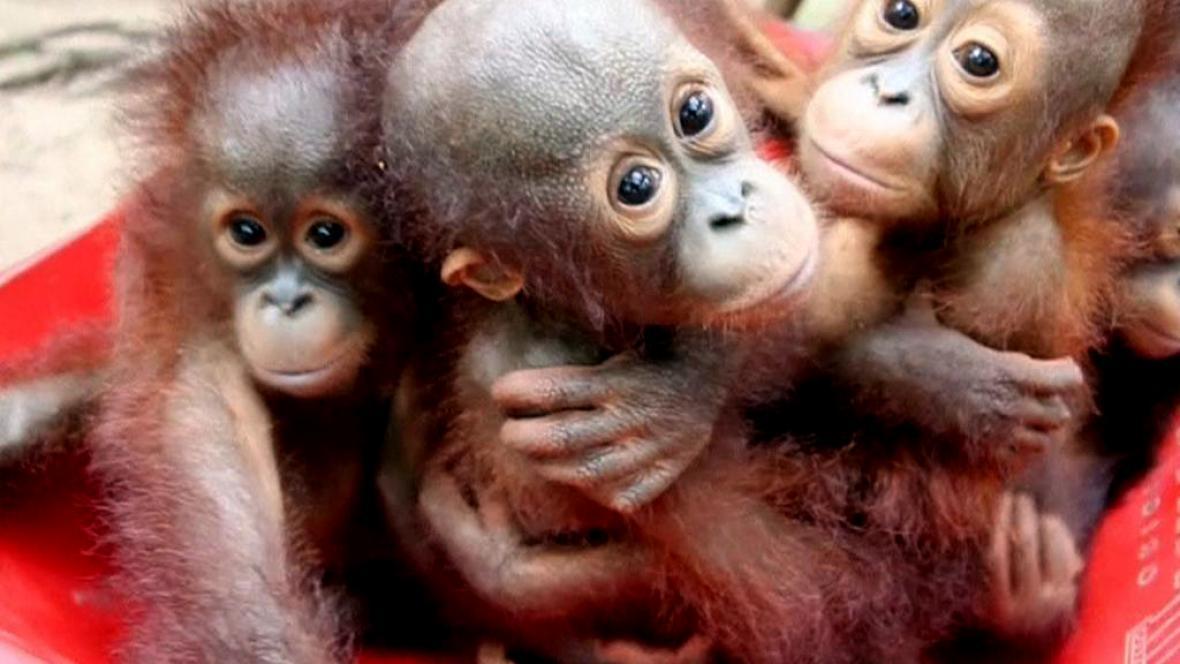 Osiřelá mláďata v orangutaní škole na Borneu