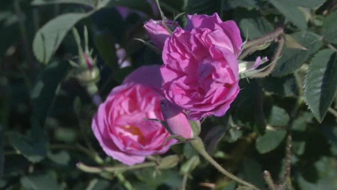 Damascénská růže