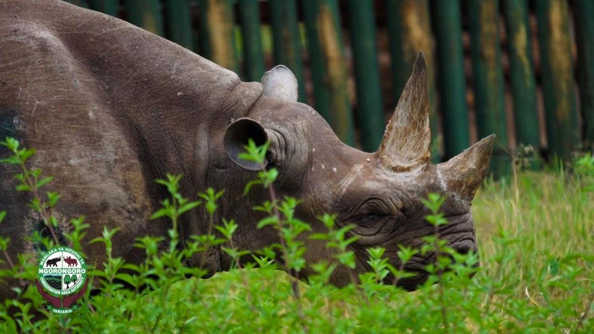 Samice nosorožce černého  Fausta