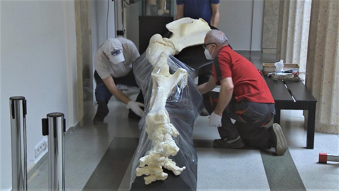 Muzejníci odvážejí kostru sloní nohy