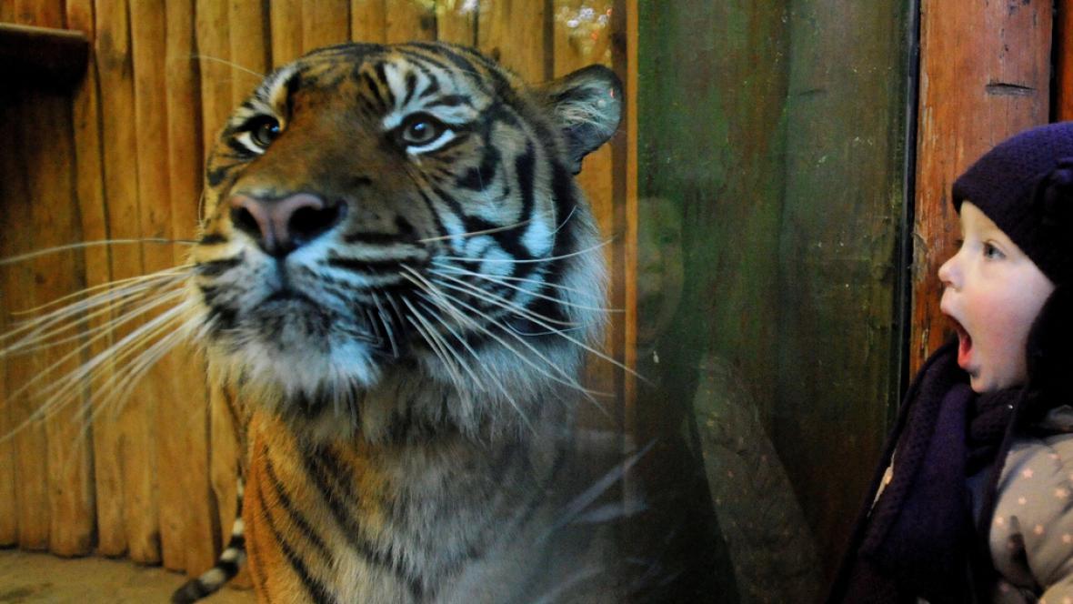 Tygr Dandis z plzeňské zoo si před zraky návštěvníků pochutnal na hovězí kosti