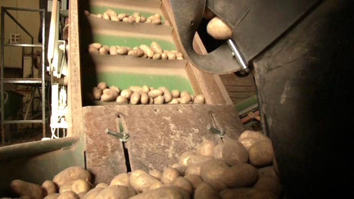 Pěstování slaných brambor