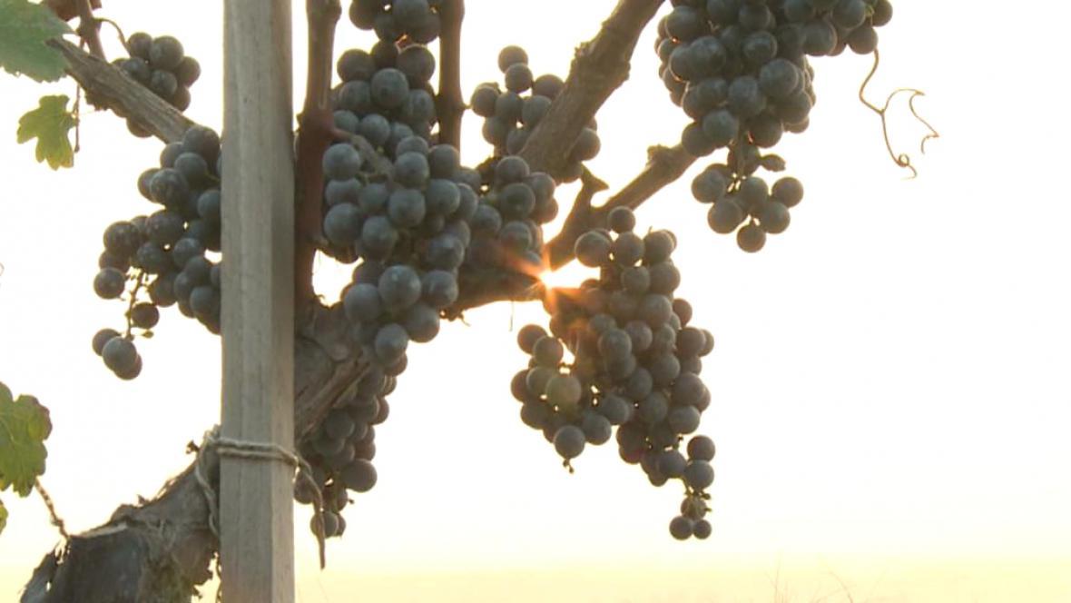 Česká vinice v Číně