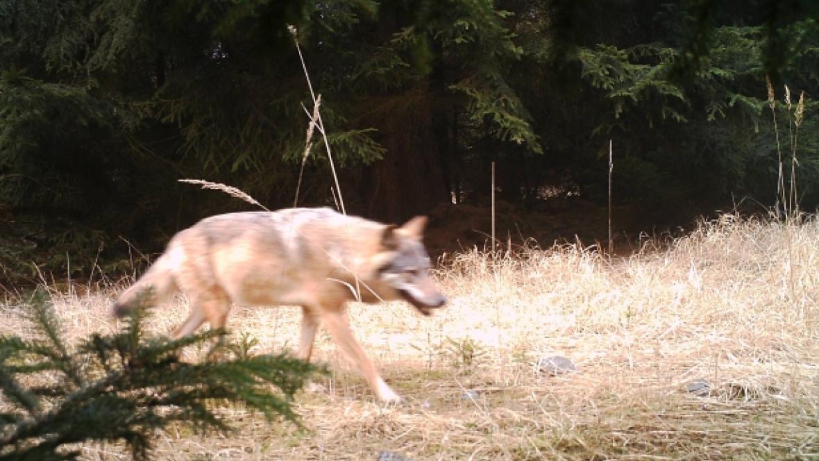 Vlk na Českolipsku