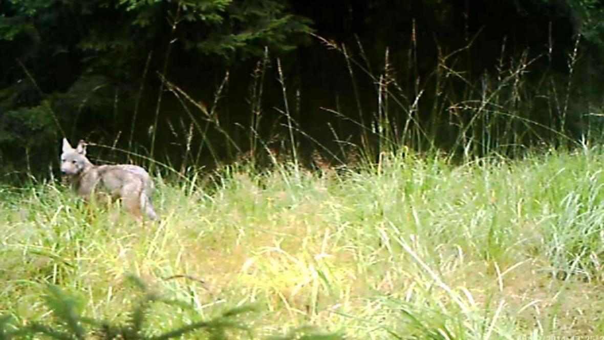 Fotopast zachytila vlčí mláďata