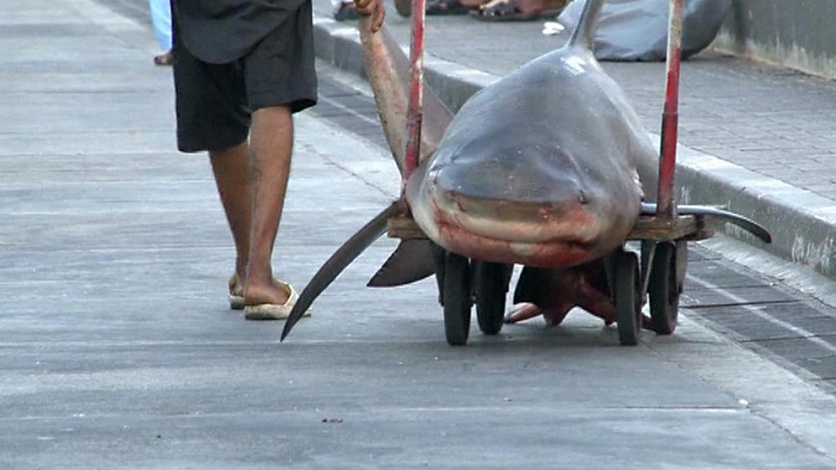 Lov žraloků se bude regulovat