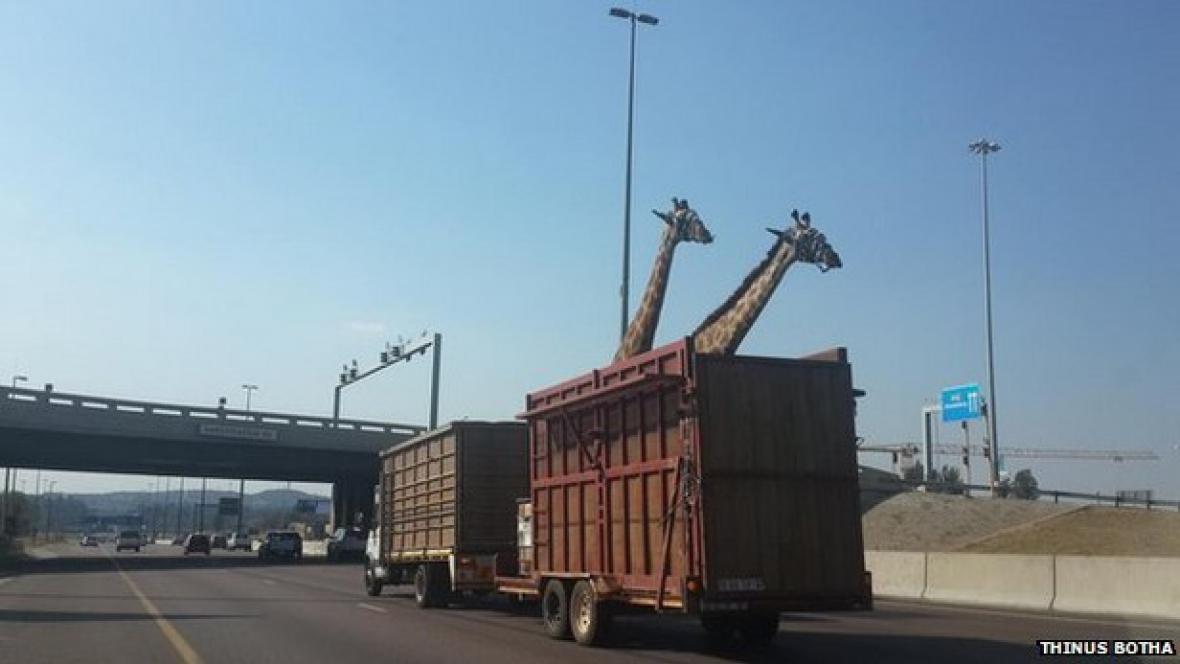 Zraněné žirafy