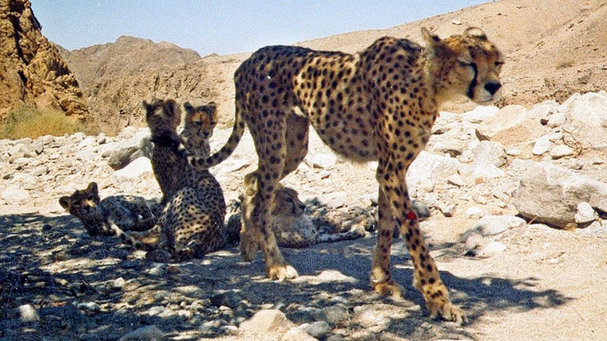 Vzácná fotka rodinky kriticky ohroženého geparda asijského
