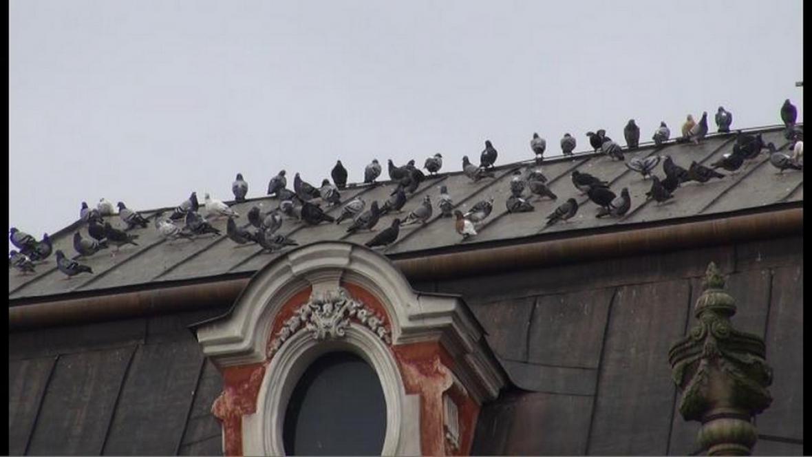 Holubi na kolínské střeše