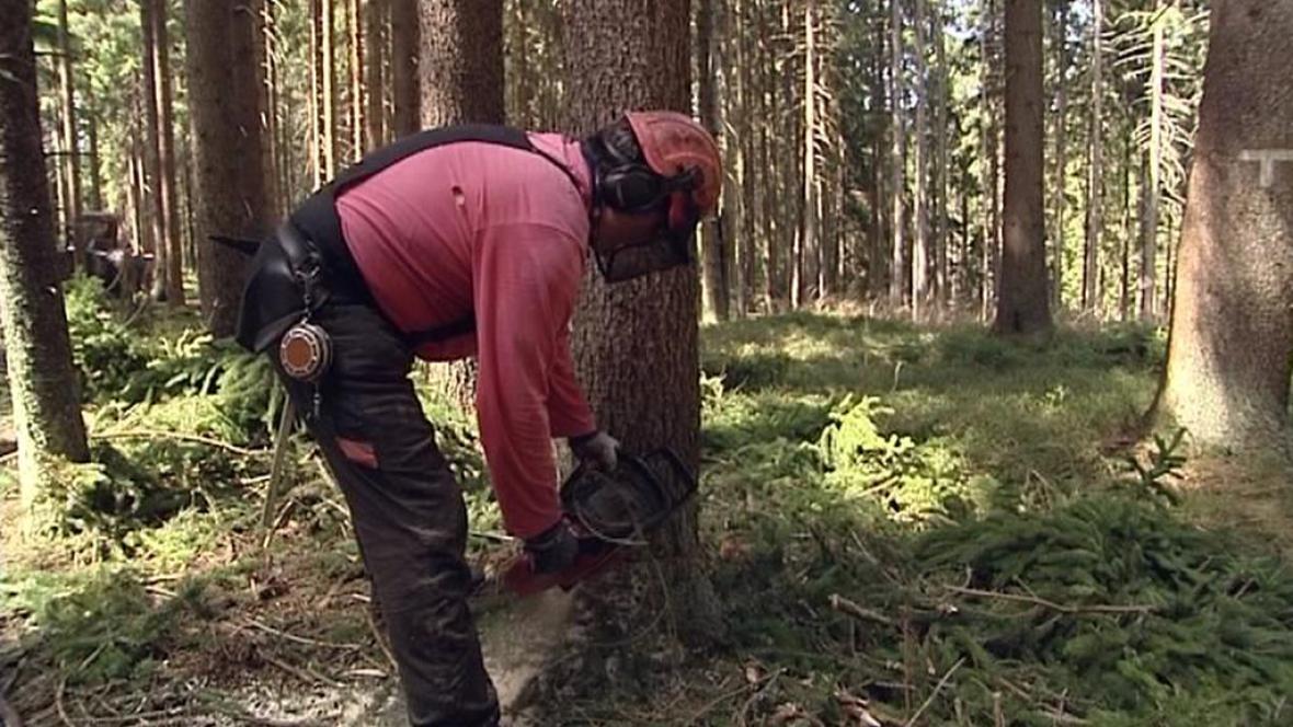 Kácení stromů na Šumavě