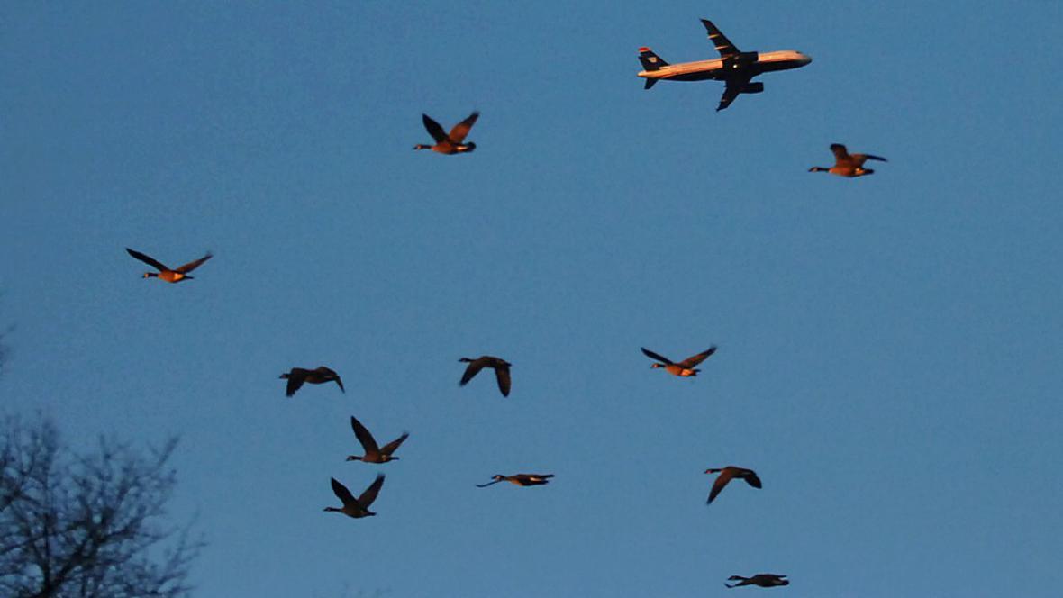 Kolizí ptáků s letadly přibývá