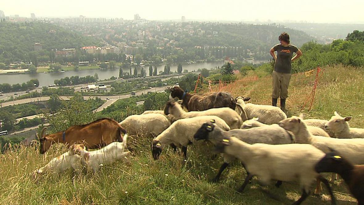 Stádo ovcí a koz v Praze