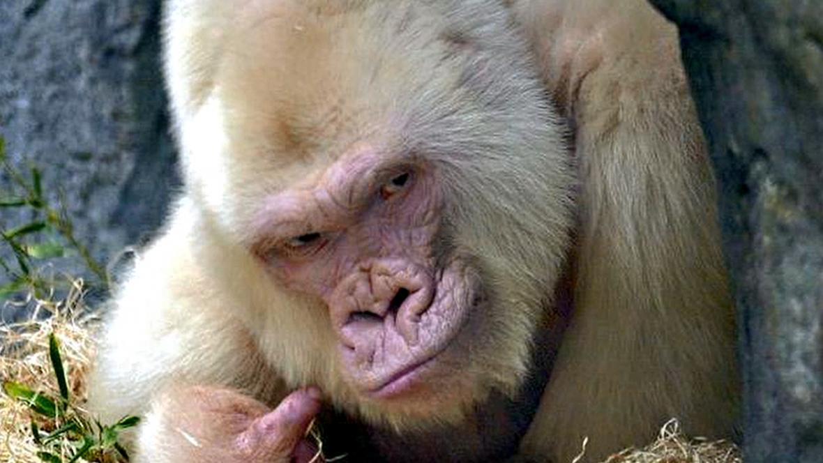 Gorilí albín Sněhurka