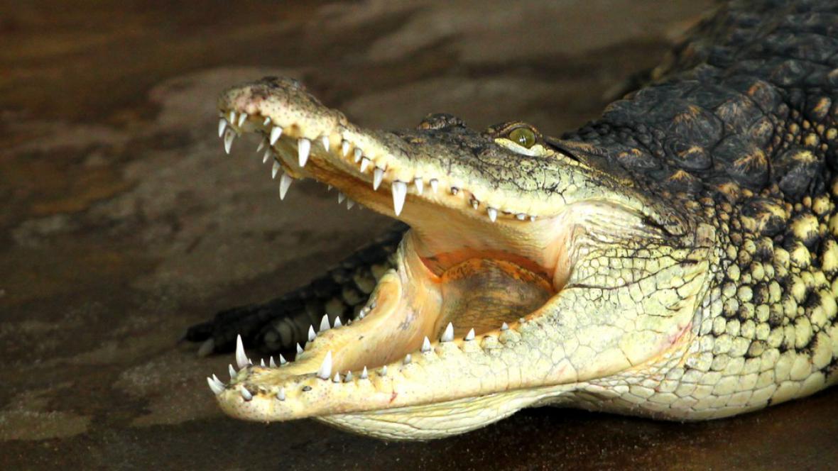 Krokodýl