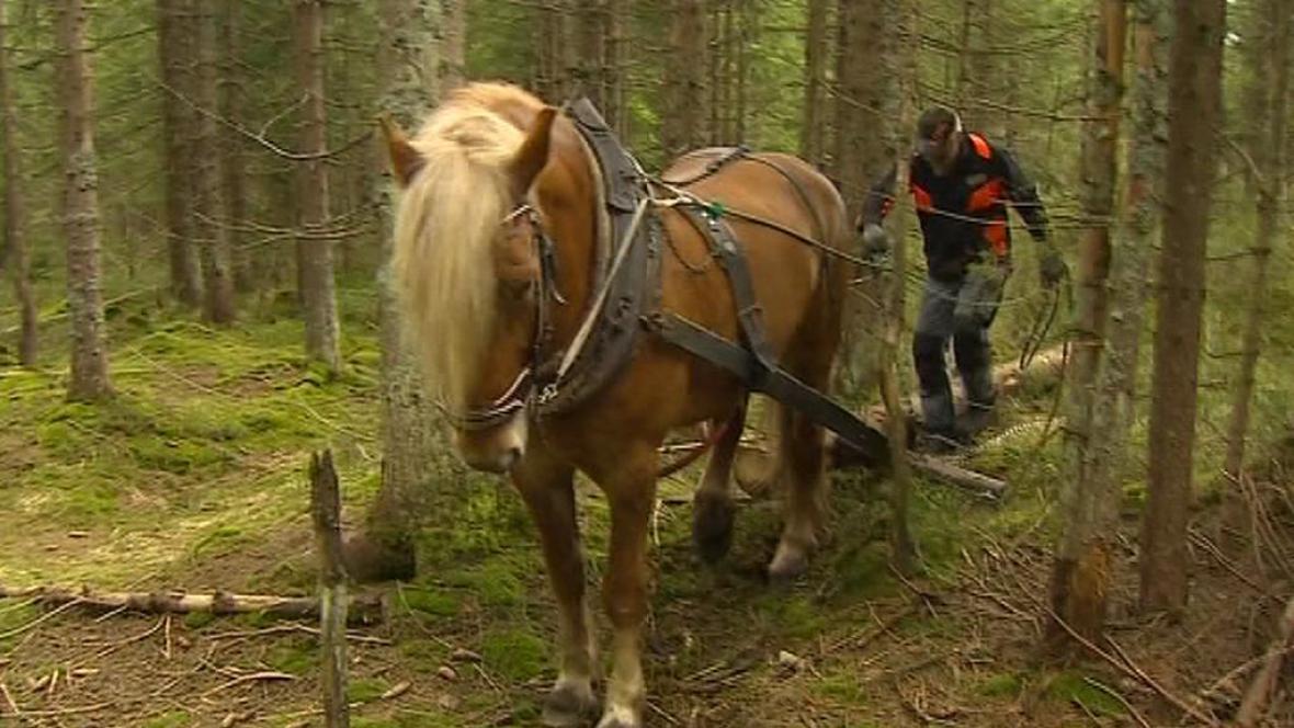 Kůň při práci v lese