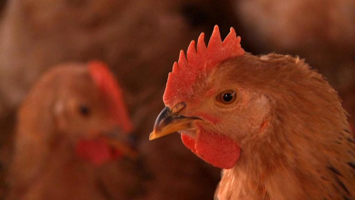Čína se bojí ptačí chřipky