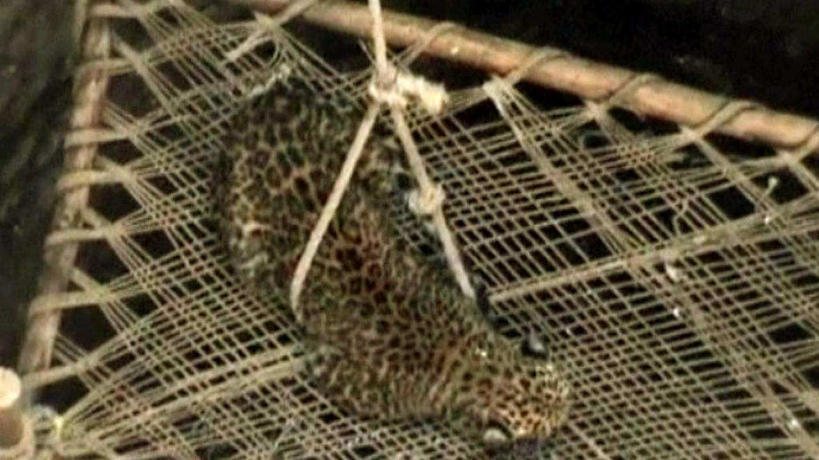 Záchrana leoparda v Gudžarátu
