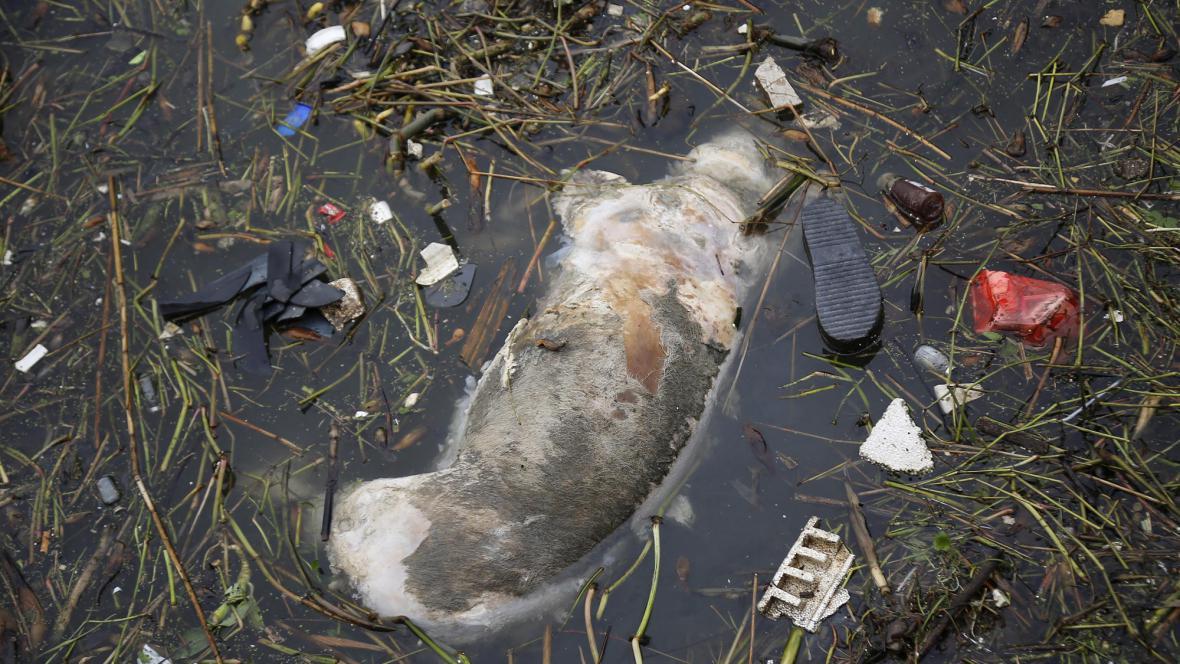 Mrtvé prase v řece