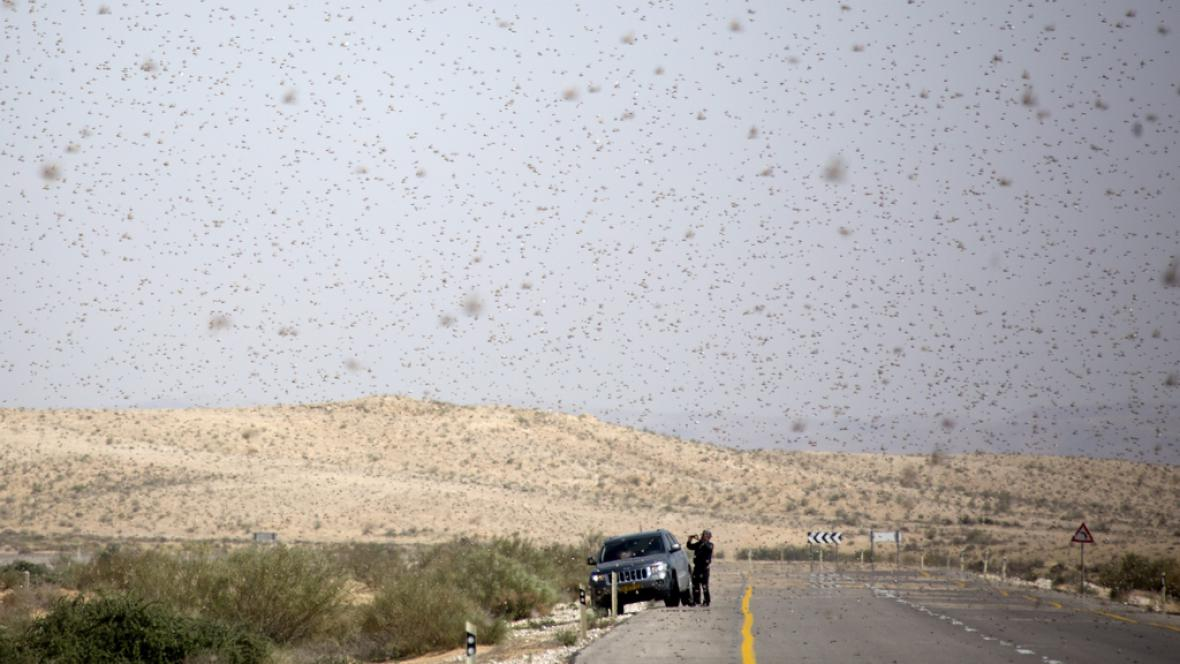Do Izraele přiletěly kobylky