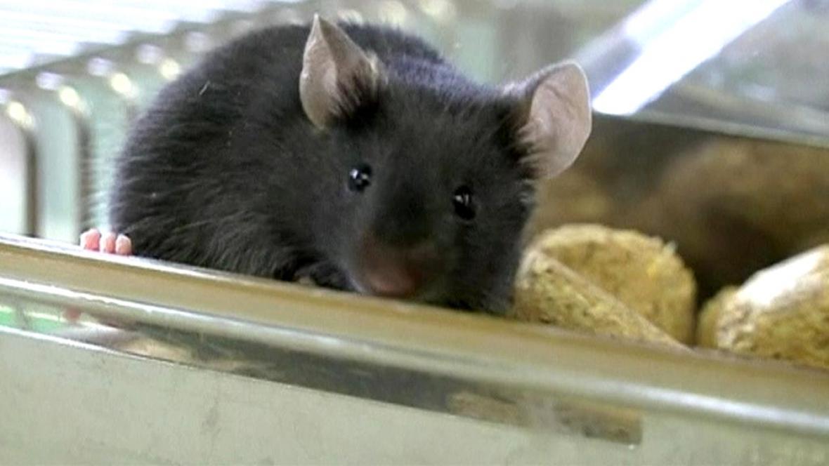 Vědcům se podařilo oddálit stárnutí u myší