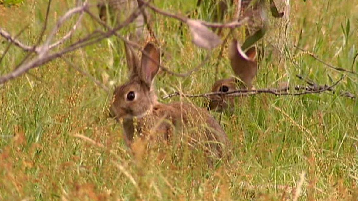 V Austrálii se přemnožili králíci