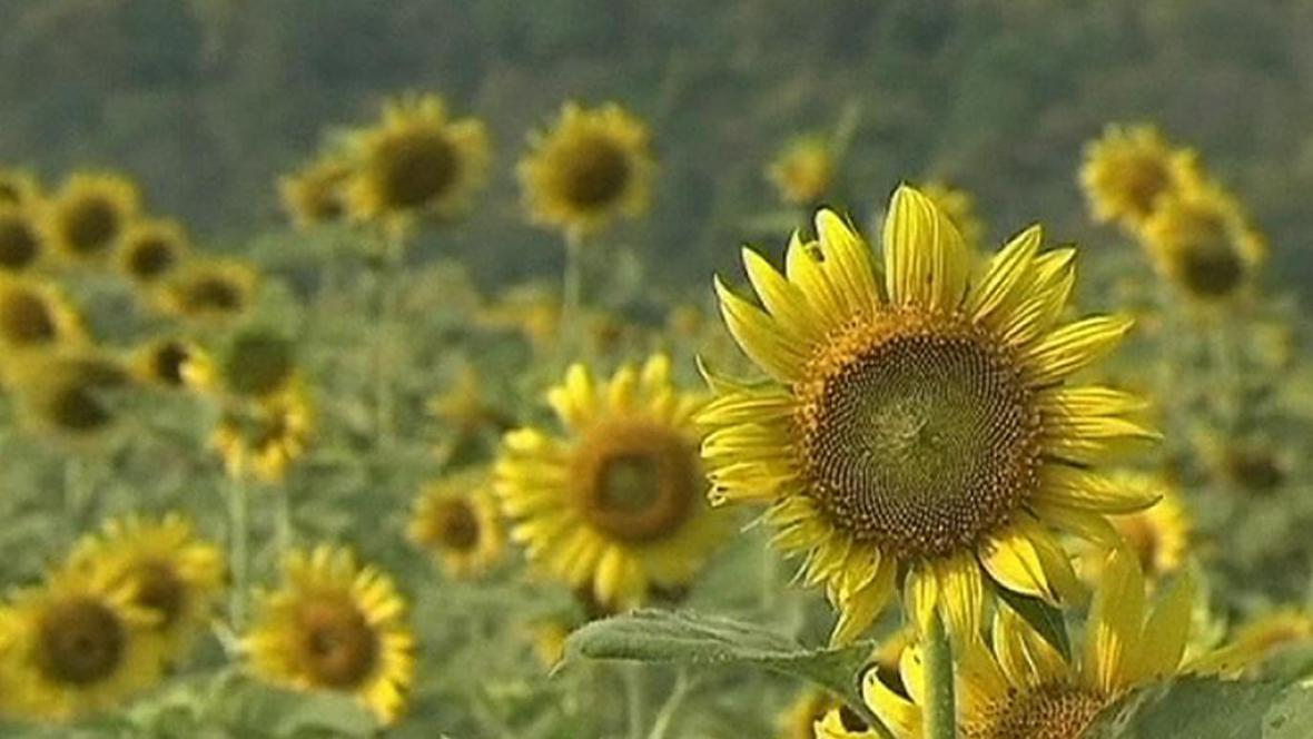 Thajské slunečnice