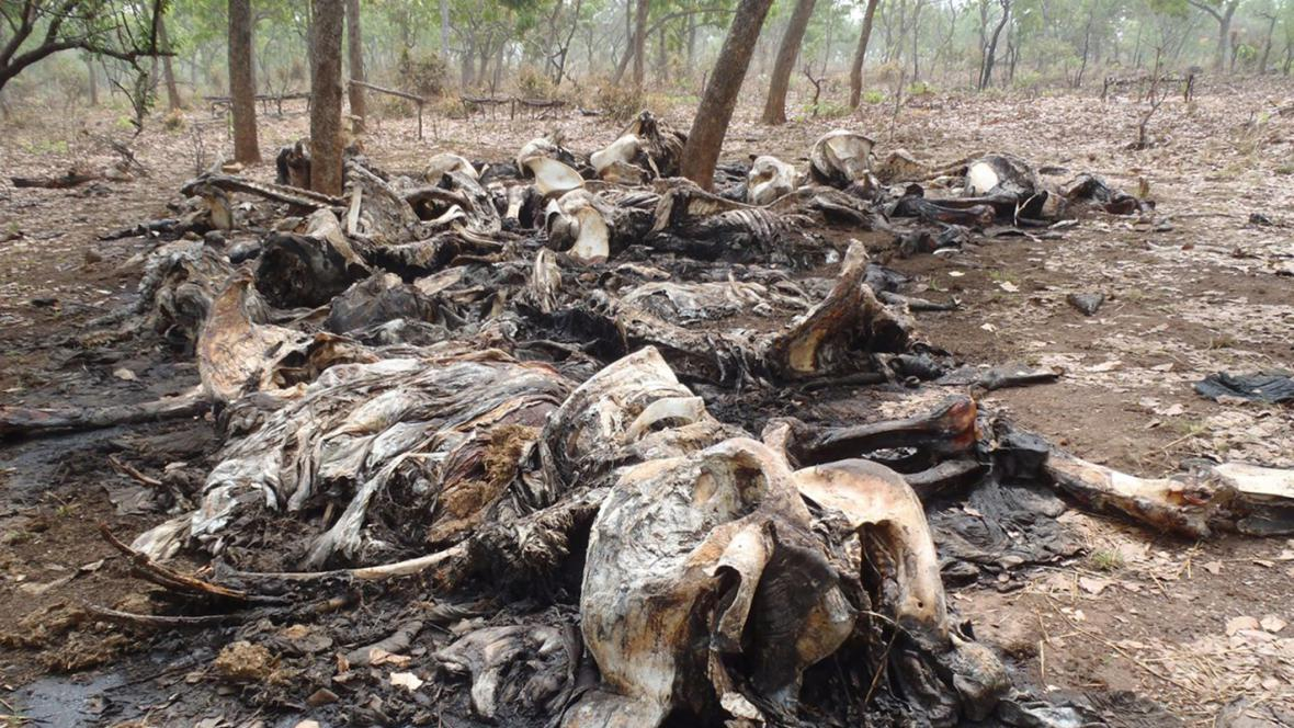 Mrtvoly slonů pobitých pytláky v Kamerunu