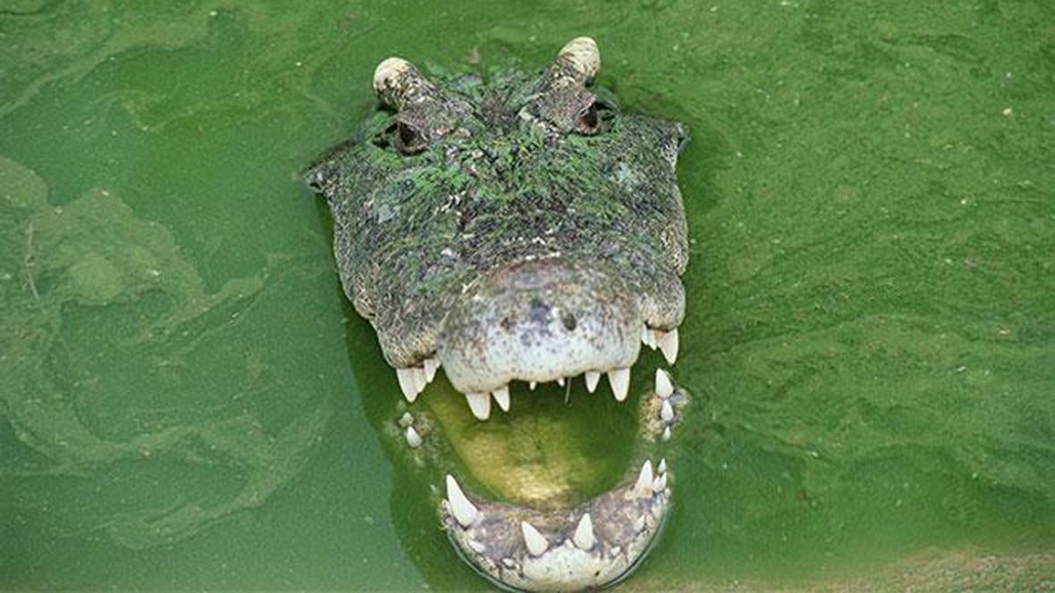 Krokodýl, který žil dva roky v kanalizaci