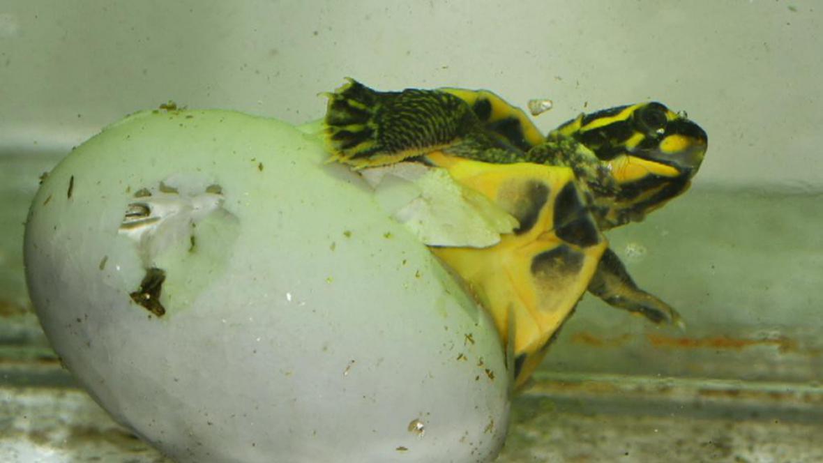 Líhnutí indické želvy korunkaté