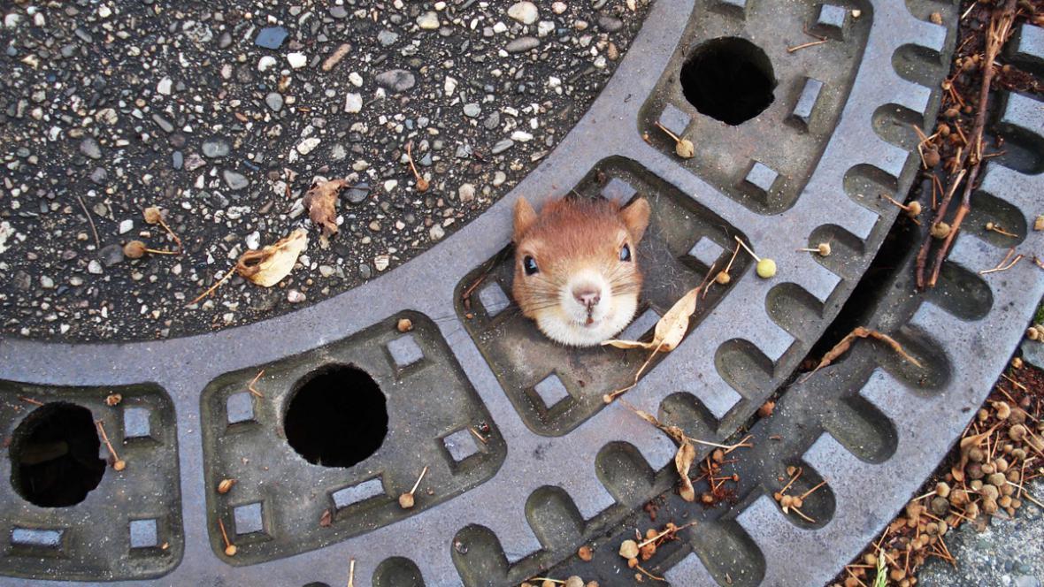 Veverka uvězněná v poklopu kanálu