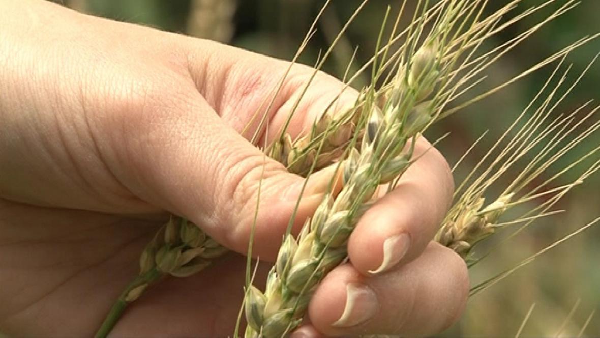 Modrá pšenice