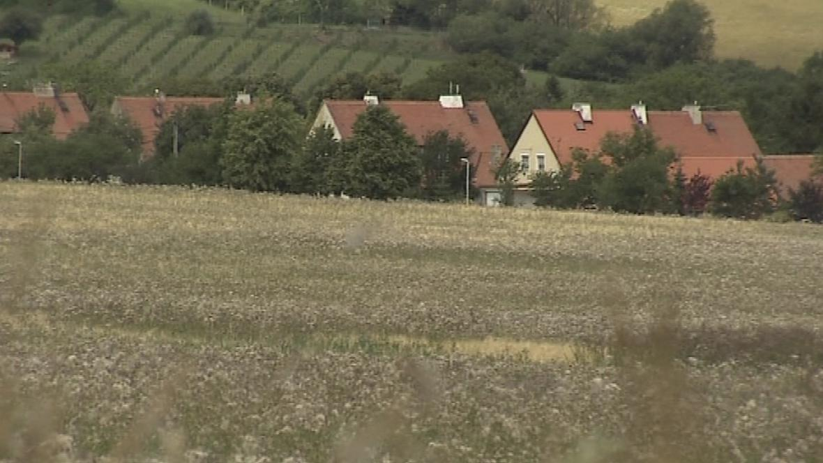 Pole u Malé Vrbky je zamořeno plevelem