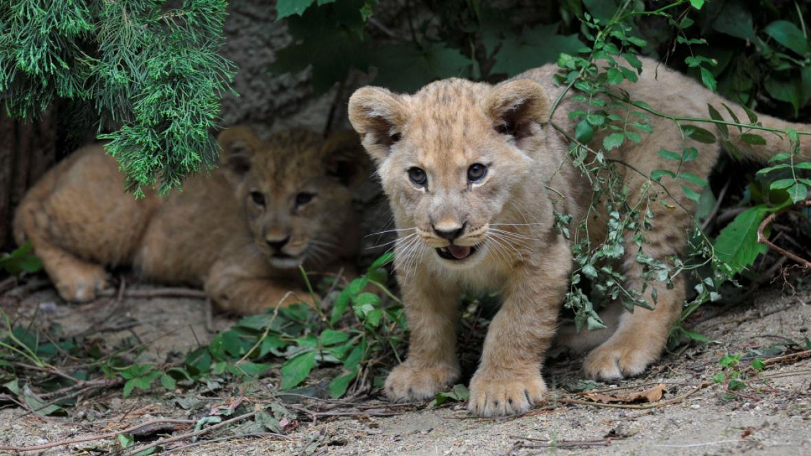 Lvíčata z olomoucké zoo