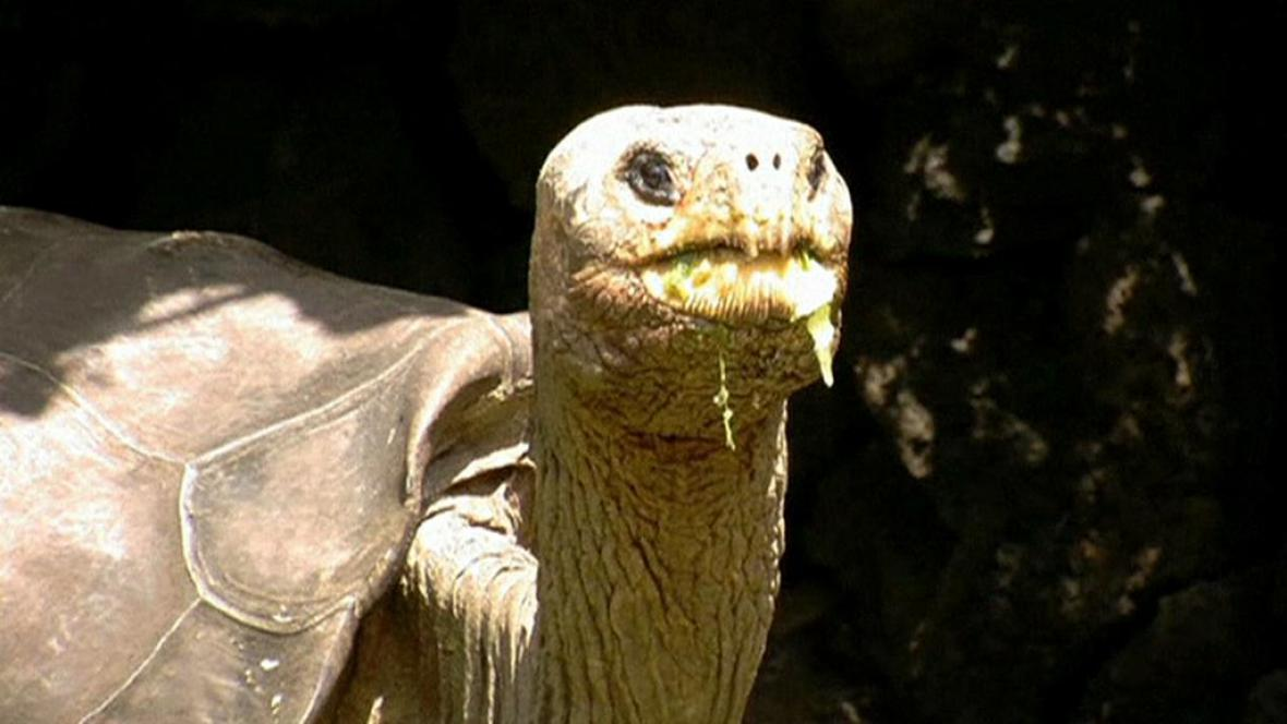 Želví samec George