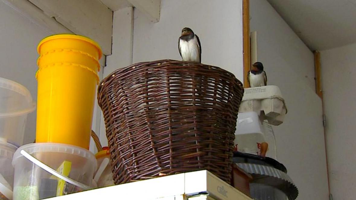 Vlaštovky v kuchyni