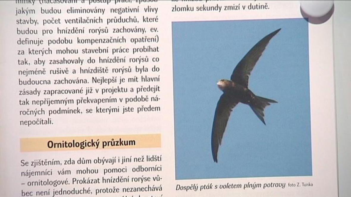Rorýsi v Ostravě