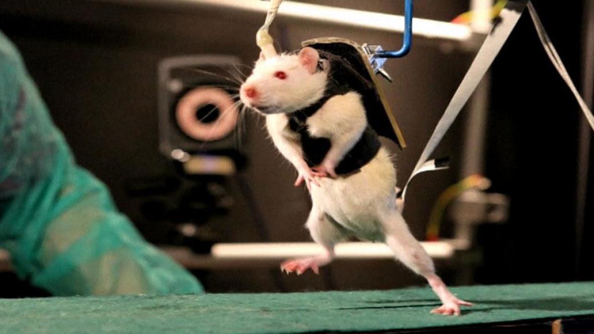 Chodící potkan