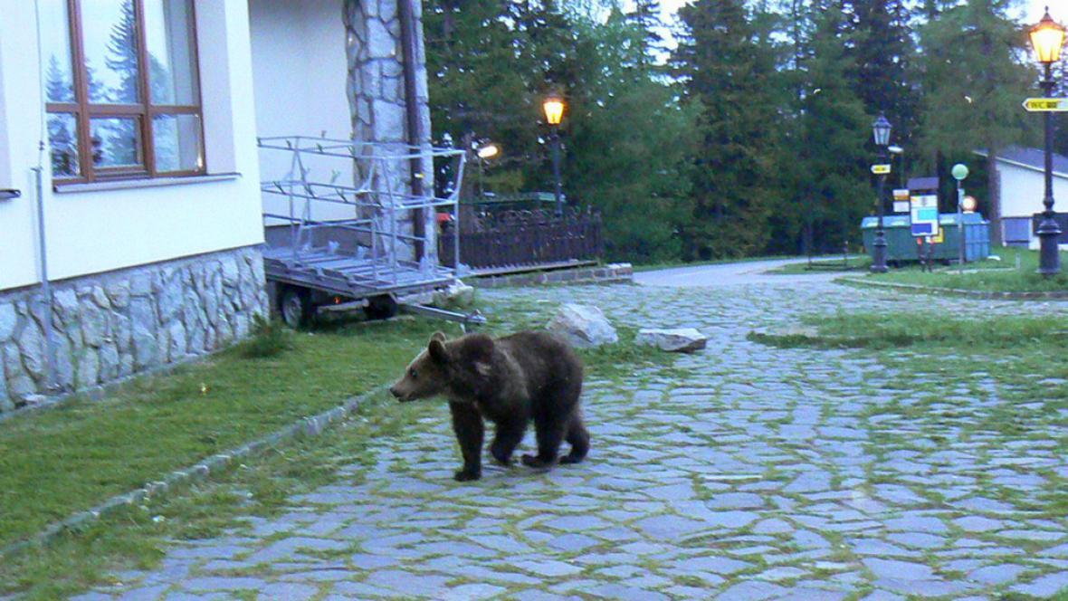 Vysoké Tatry trápí medvědi