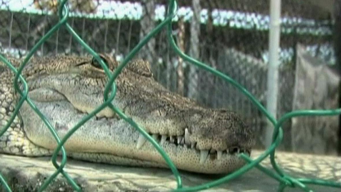 Krokodýl na krokodýlí farmě