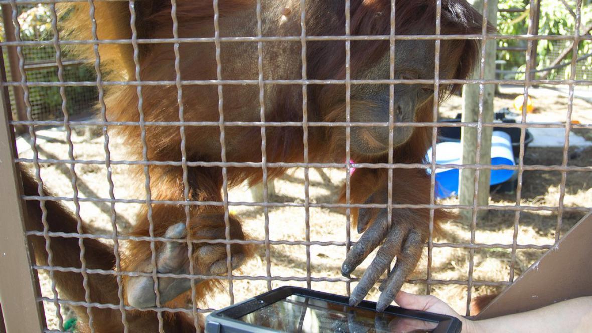 Orangutan s iPadem
