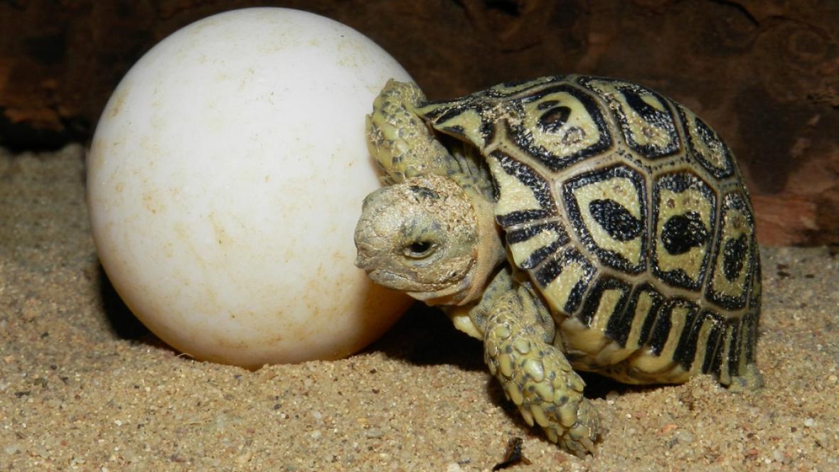 Mládě želvy pardálí