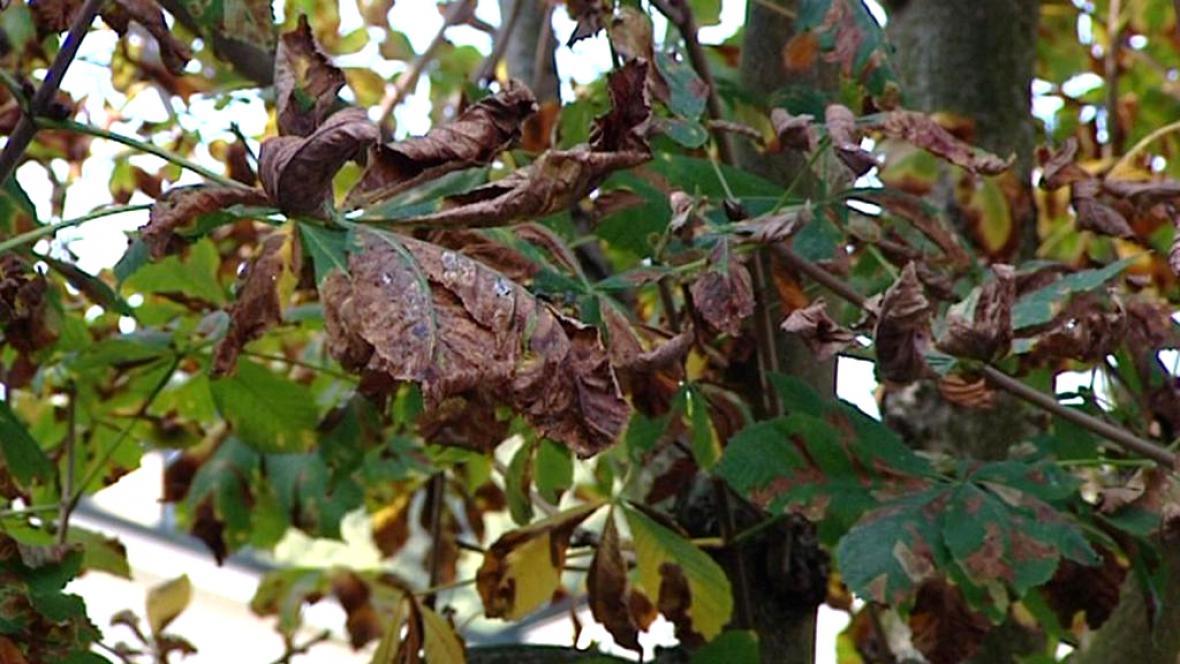 Listy napadené klíněnkou jírovcovou
