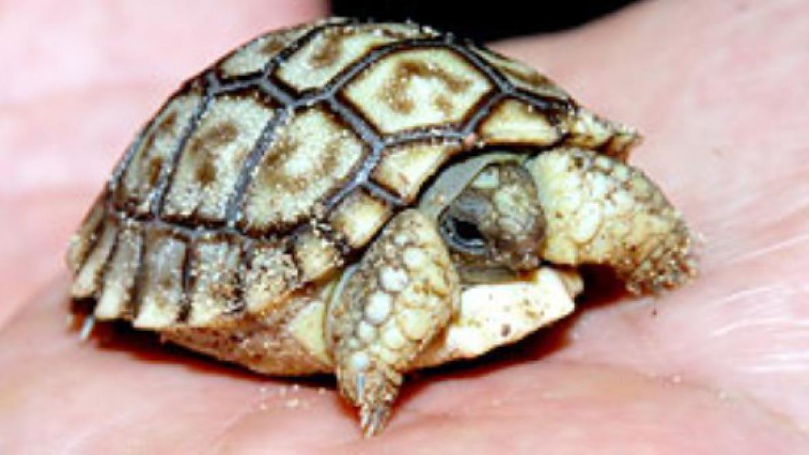 Mládě želvy chilské