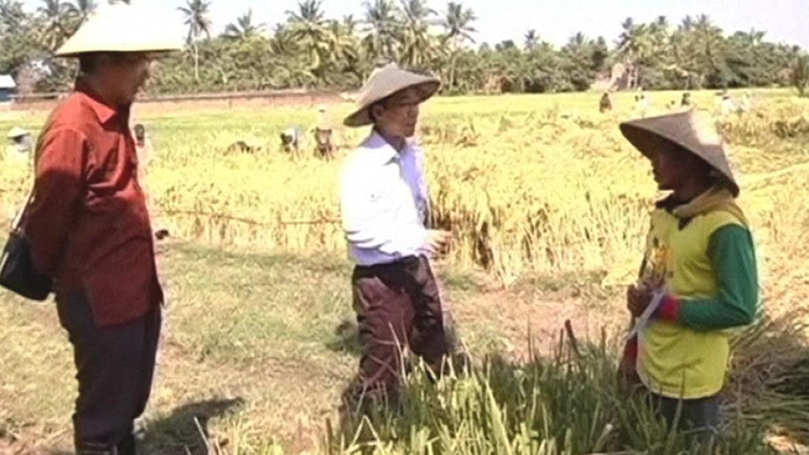 Produkce rýže v Indonésii