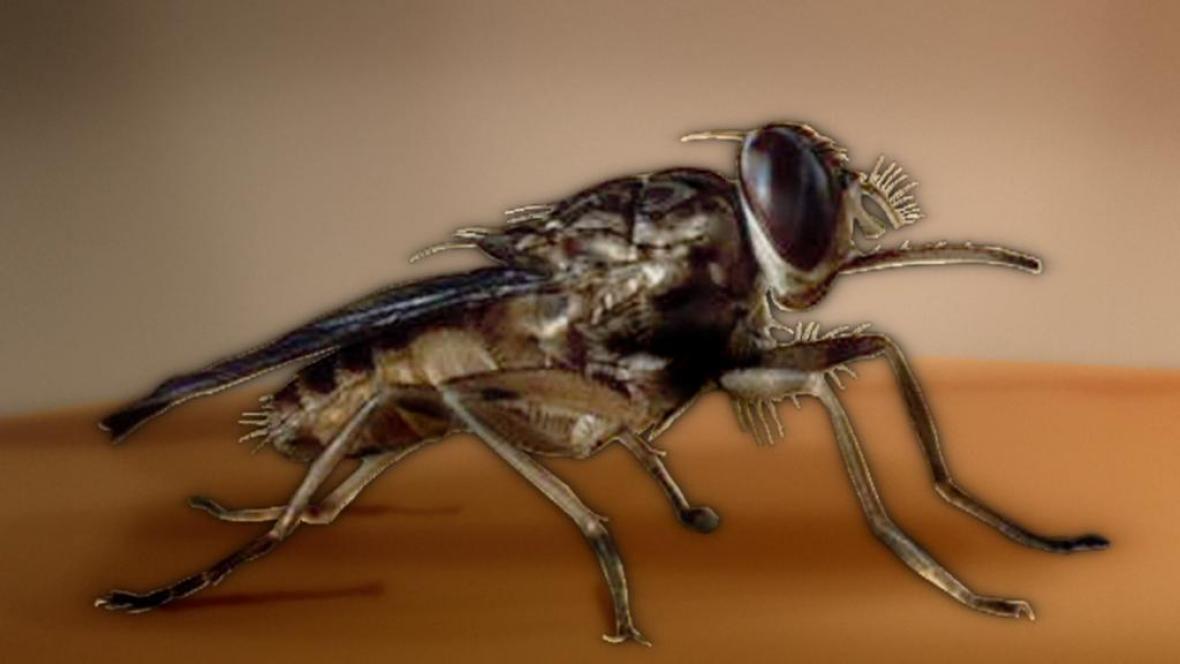 Přenašeč spavé nemoci - moucha tse-tse