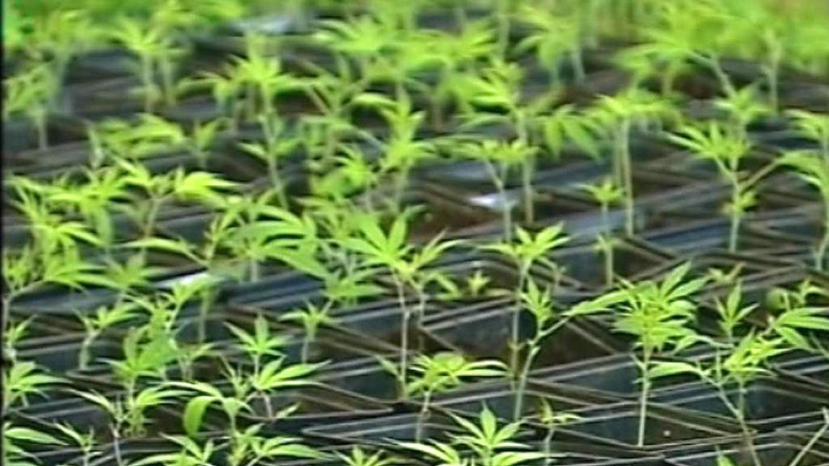Rostlinky konopí