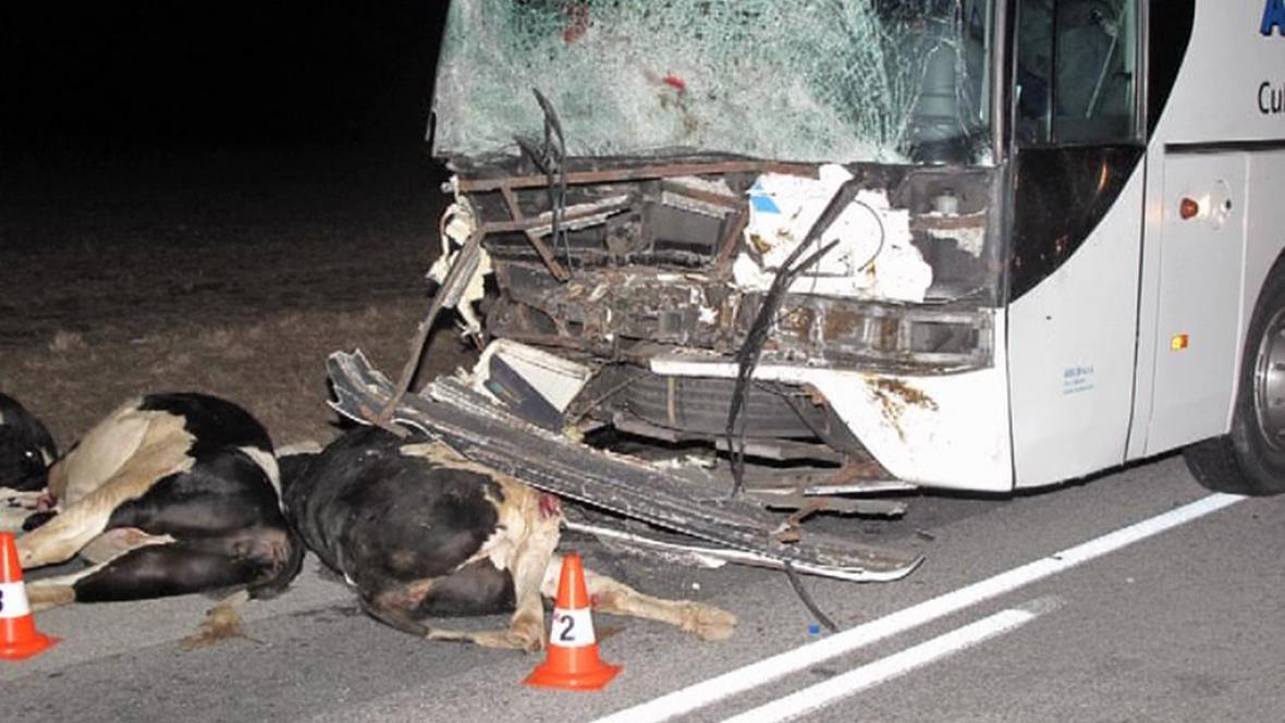Autobus narazil do stáda krav