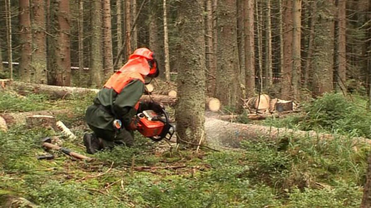 Dřevorubec kácí v oblasti Ptačího potoka na Šumavě
