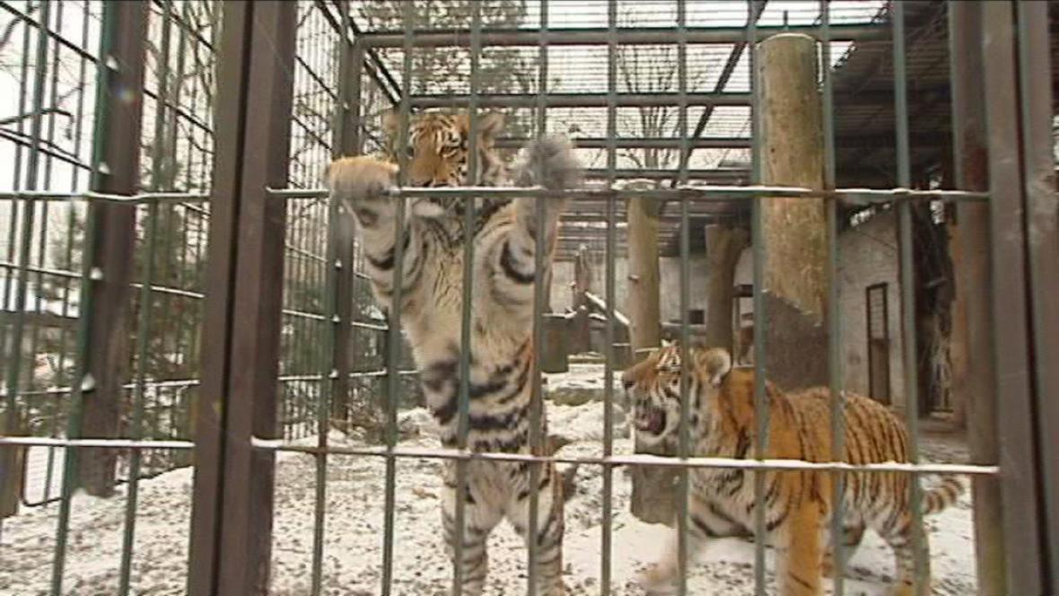 Tygři v ostravské ZOO