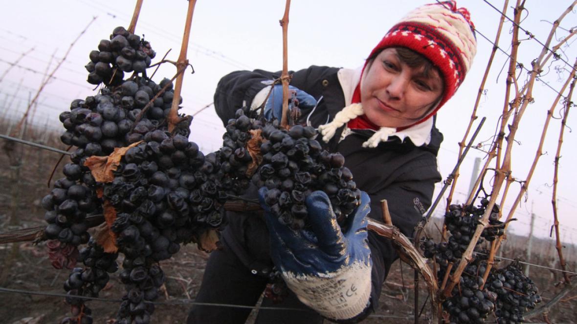 Na jižní Moravě začala sklizeň ledového vína